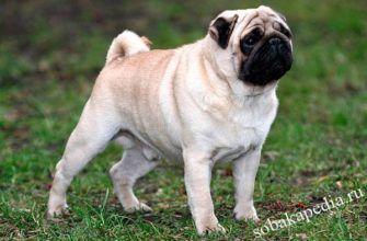 Мопс описание породы собак, характеристики, внешний вид