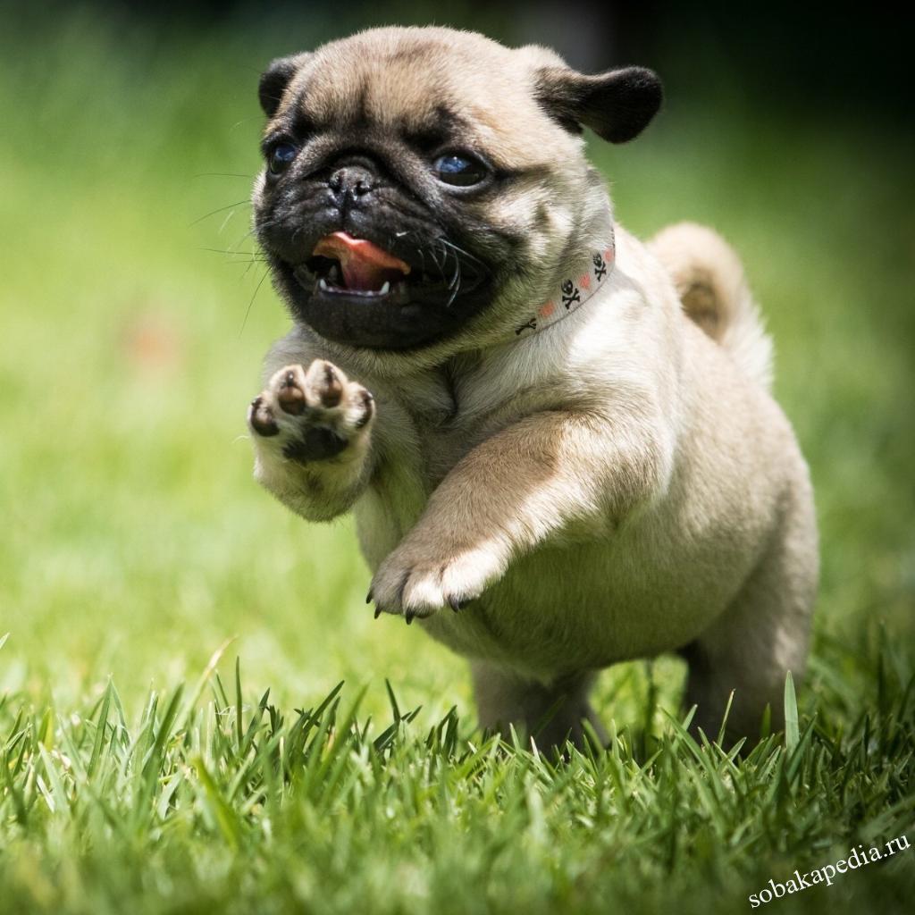 Мопс — описание породы собаки от А до Я