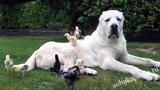 Среднеазиатская овчарка: фото, описание, характер