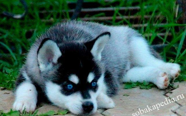 Аляскинский кли-кай (мини хаски): описание породы, характер