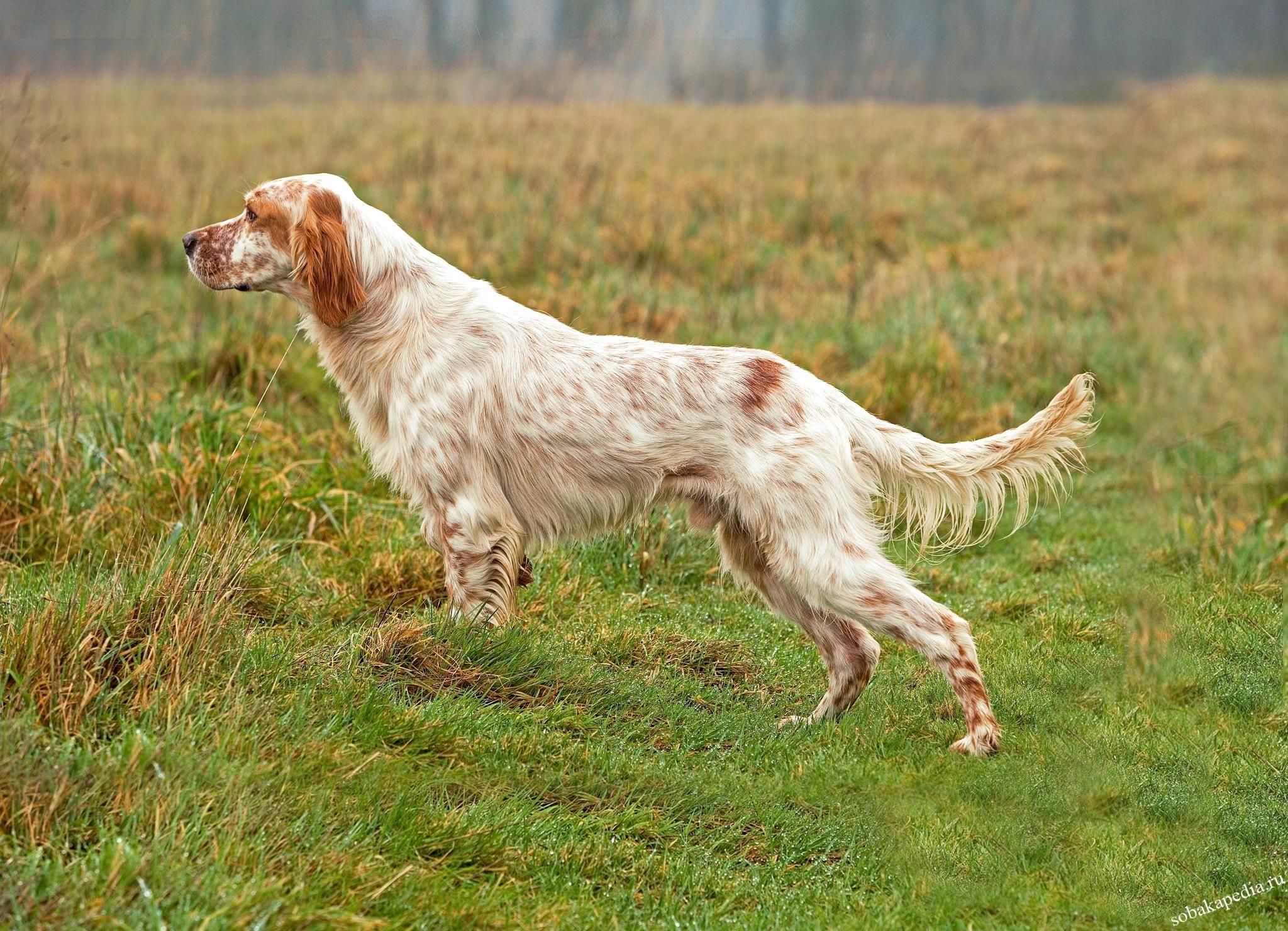 Английский сеттер – фото собаки, описание породы и характер