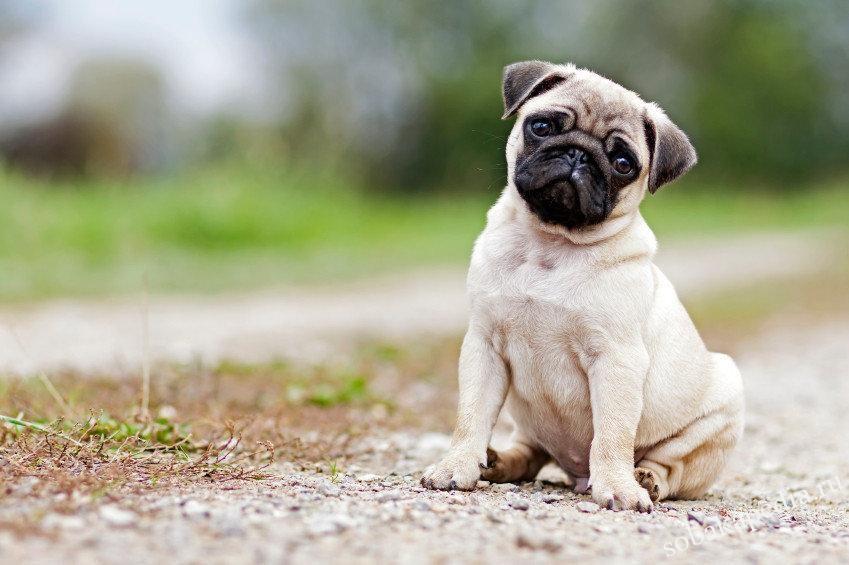 Мопсы - собаки, которые станут настоящими друзьями для всех