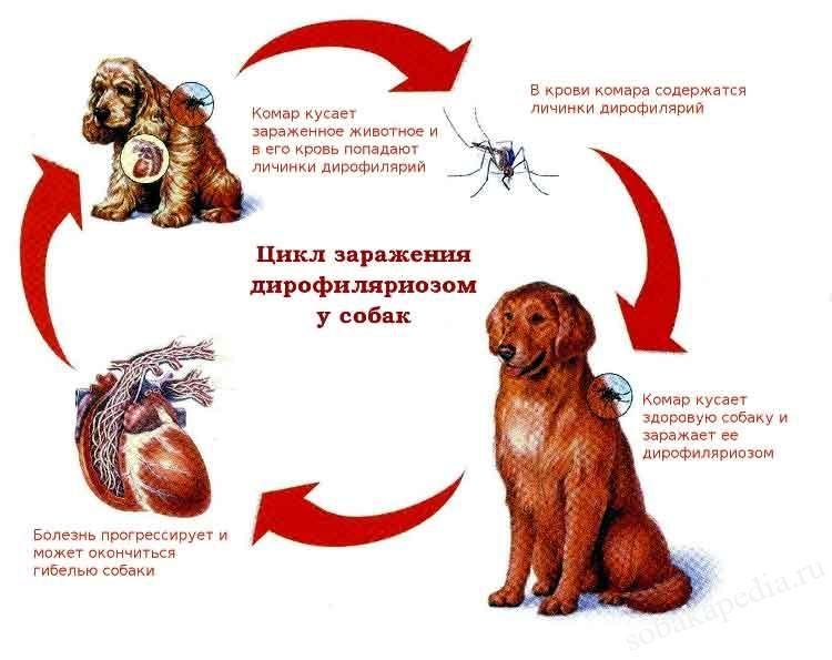 Глисты у собак: симптомы, признаки, профилактика, лечение