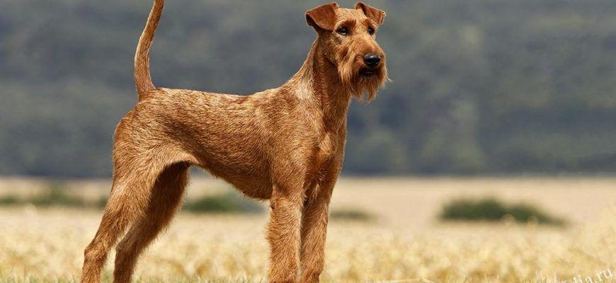 Ирландский терьер: все о собаке, фото, описание породы