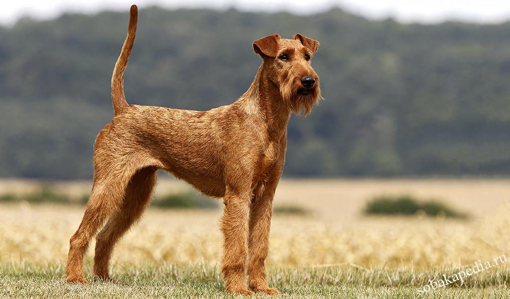 Ирландский терьер — до безрассудства смелая собака