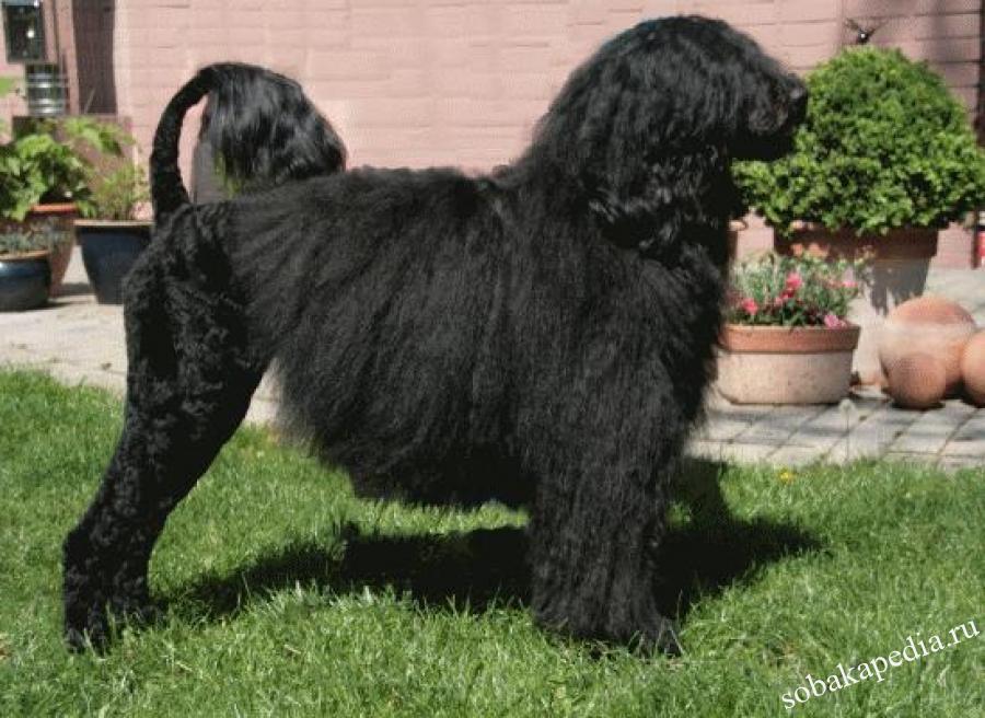 Португальская водяная собака (кан диагуа) - фото и описание
