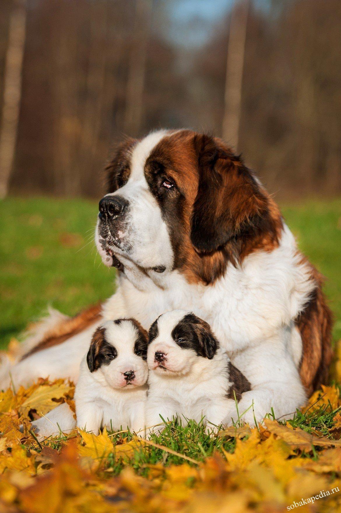 Сенбернар: все о собаке, фото, описание породы, характер, цена щенка