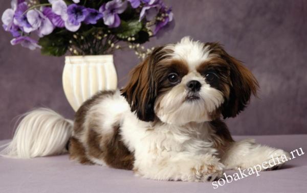 Ши-тцу: описание породы собак с фото, какой характер, отзывы