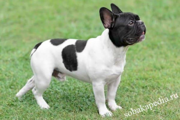 Французский бульдог - описание породы собак: стандарт