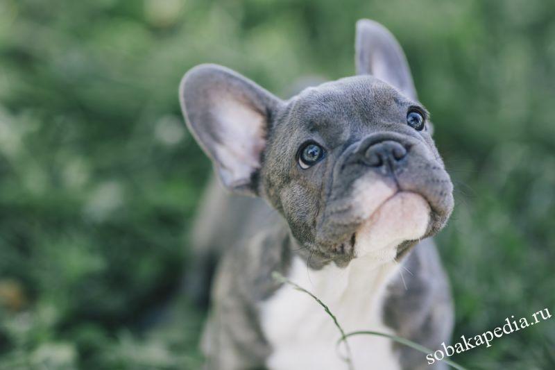 Порода собаки французский бульдог: характеристики, фото