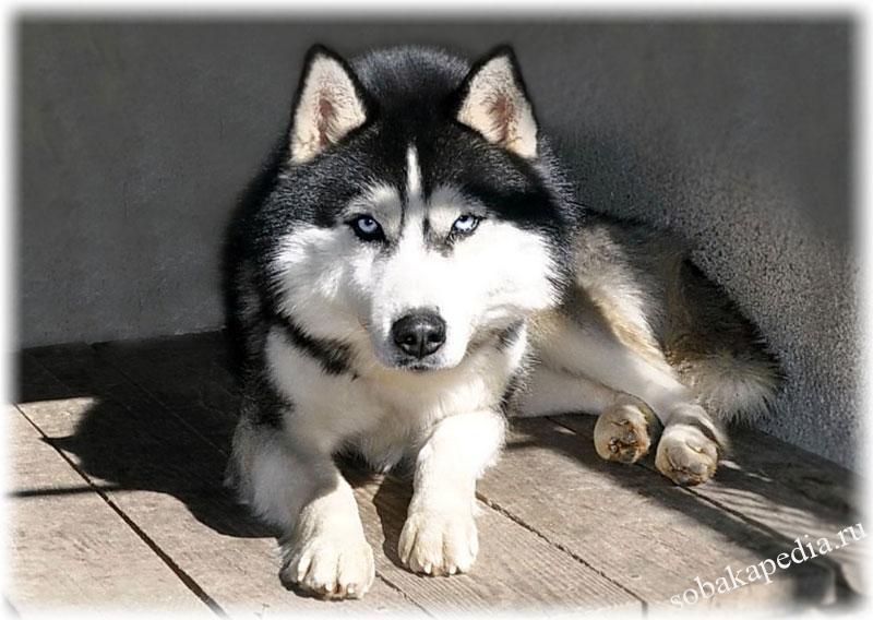 Сибирский Хаски: фото, описание породы, характер, отзывы