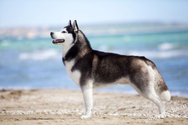 Сибирский хаски — собаки лишенные агрессии, но не ума