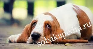 Глисты у собаки симптомы, фото, лечение и профилактика