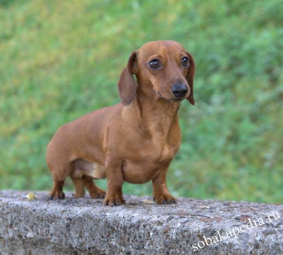 Порода Карликовая такса - фото, характеристики, цена собаки