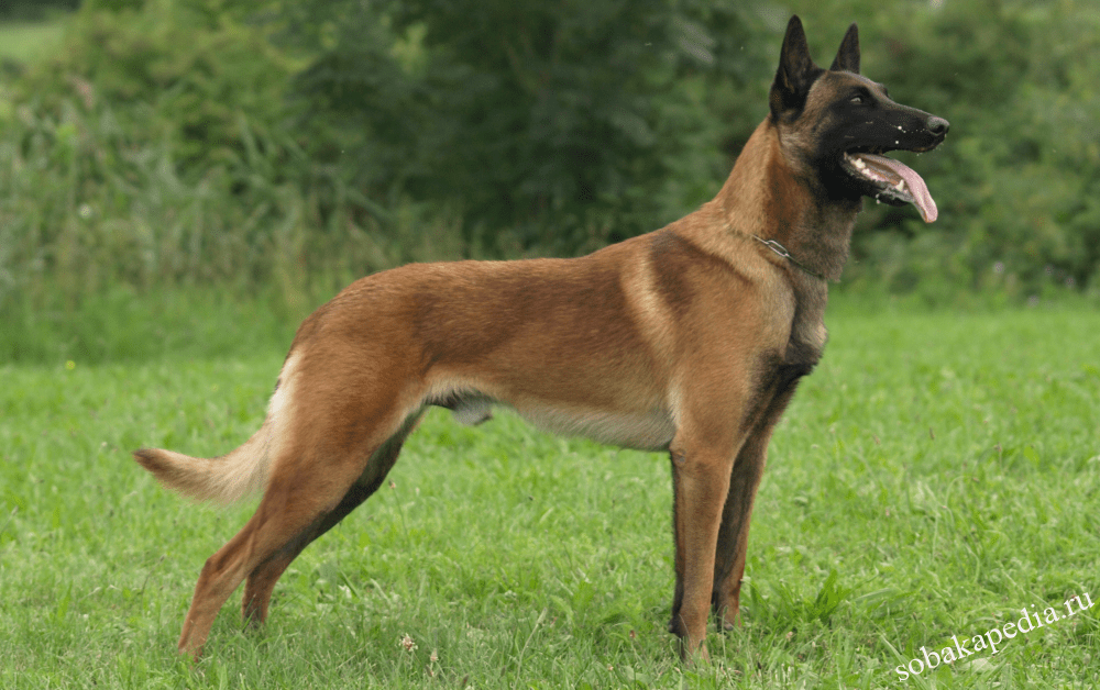 Стандарт и дрессировка бельгийской овчарки
