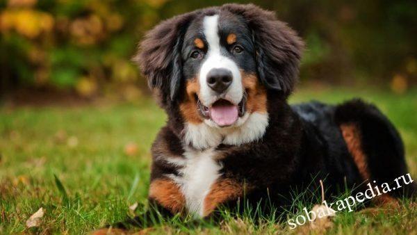 Бернский зенненхунд: фото и описание породы собак