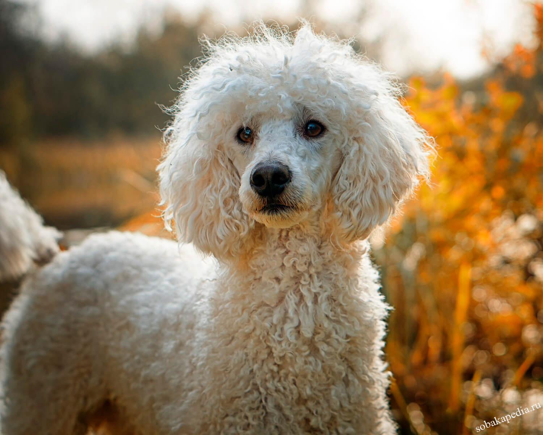 Порода собак пудель: фото, видео, описание породы и ее видов