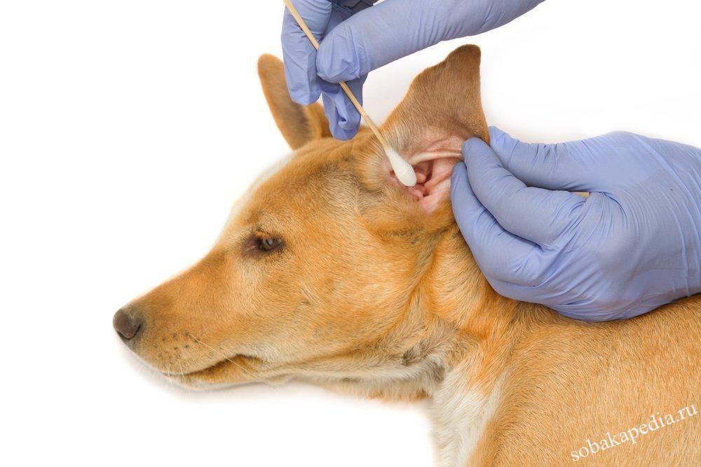 Почему собака трясет головой и чешет уши