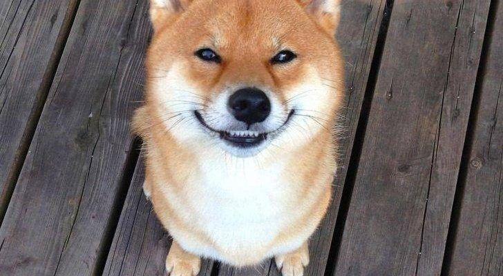 Сиба-ину или (Шиба-ину): все о японском, улыбающемся псе (ФОТО)