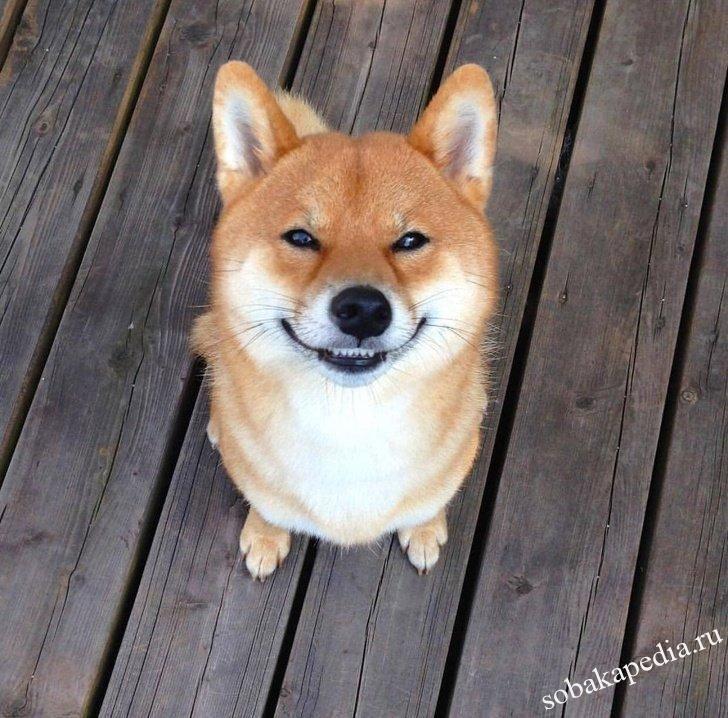 Сиба-ину — красивые улыбчивые собаки