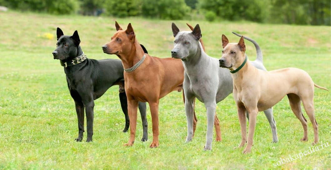 Тайский риджбек — собака охотничьего назначения