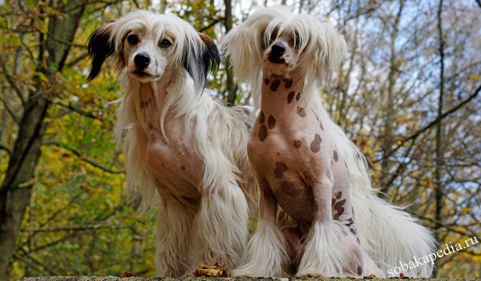 Китайская хохлатая собака: фото, характер, описание породы