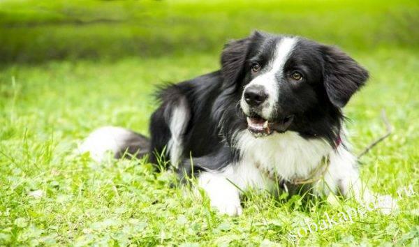 Бордер-колли: фото собаки, цена, описание породы