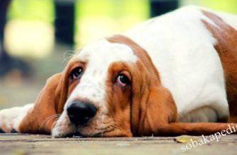 Как вывести глисты у собаки