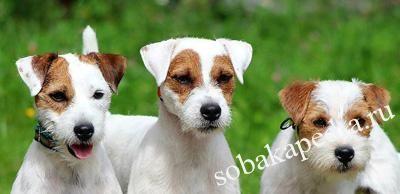 Порода собак парсон рассел терьер: фото, видео, описание