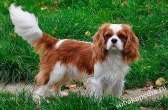 Кавалер-кинг-чарльз-спаниель описание породы собак