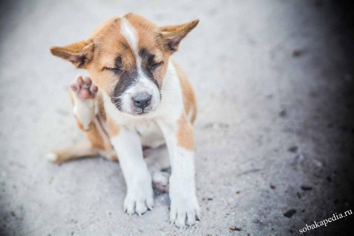 Как вывести блох у собаки — специальные и народные средства