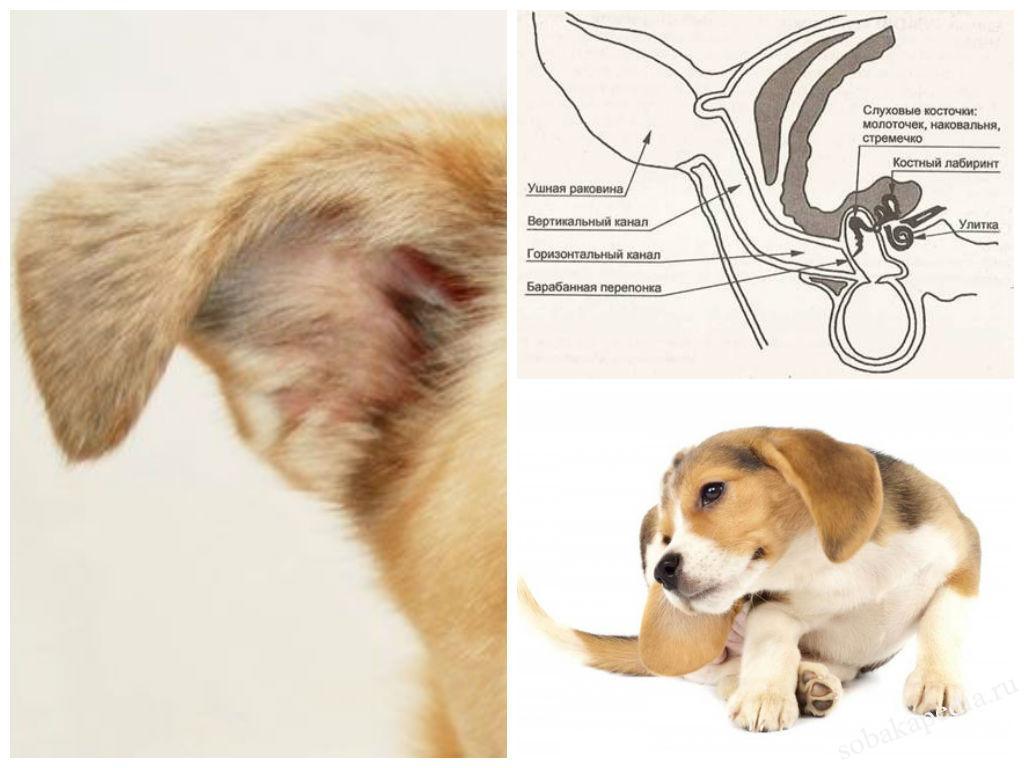 Воспаление уха у собаки: причины, симптомы и лечение