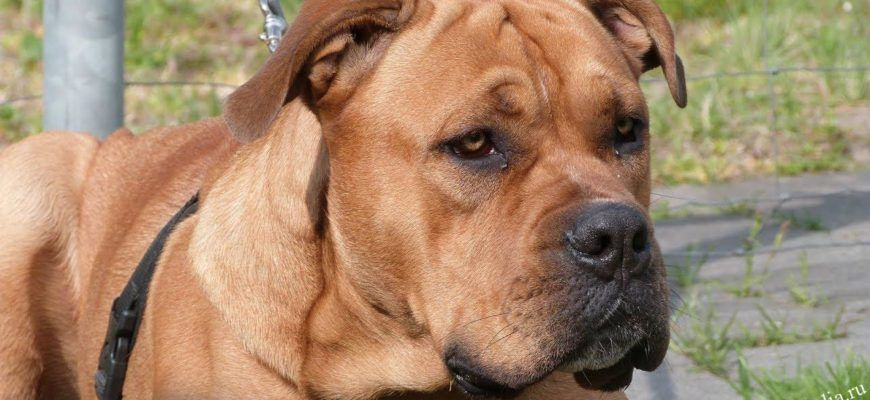 Майорский мастиф или собака Ка де Бо-все о породе, характер, дрессировка