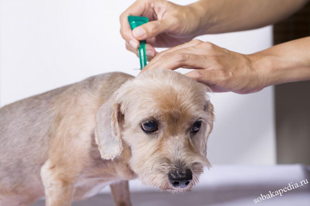 Как вывести блох у собаки: средства от паразитов