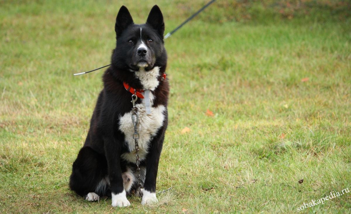 Карельская медвежья собака: фото, характер и описание породы