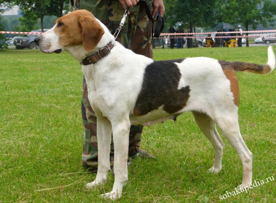 Русская гончая собака - описание породы, охотничьи навыки