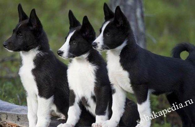 Карельская медвежья собака: описание, фото, цена щенков