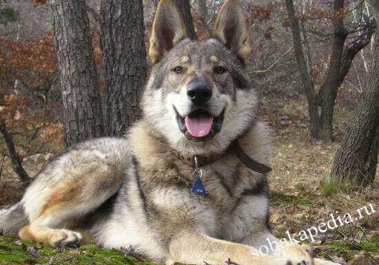 Чешский волчак: история происхождения породы, особенности