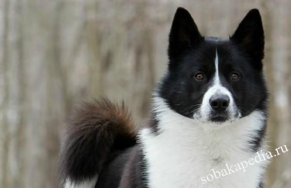 Карельская медвежья собака: стандарт, история, уход