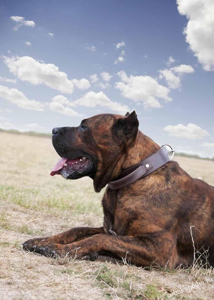 Порода собак Алано - описание, характер, характеристика
