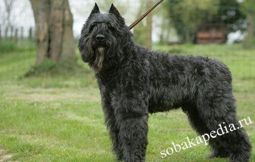Фландрский бувье: фото и описание породы, цена собаки