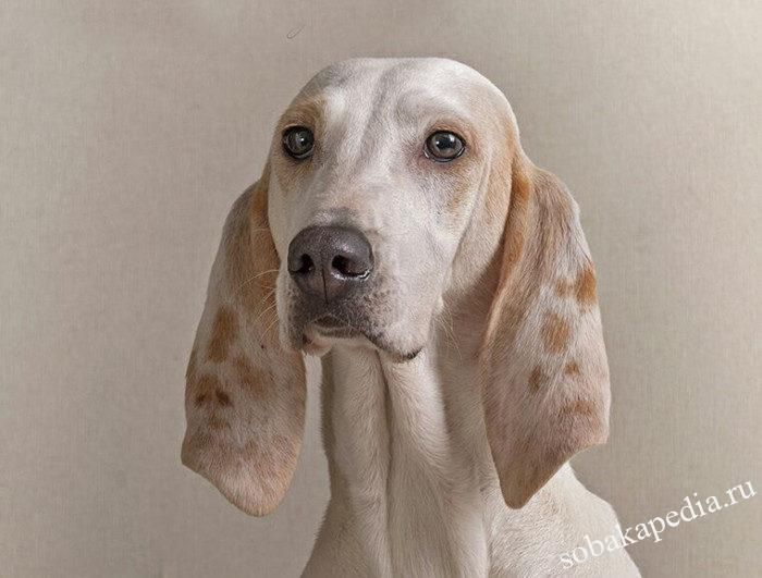 Фарфоровая гончая — порода охотничьих собак