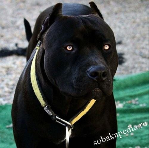 Собака породы американский питбультерьер: характер, здоровье