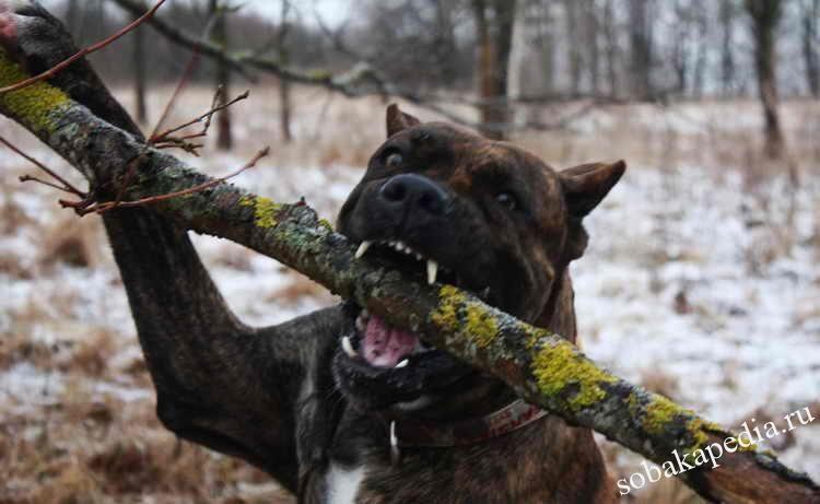 Испанский алано: описание породы, уход и содержание собак