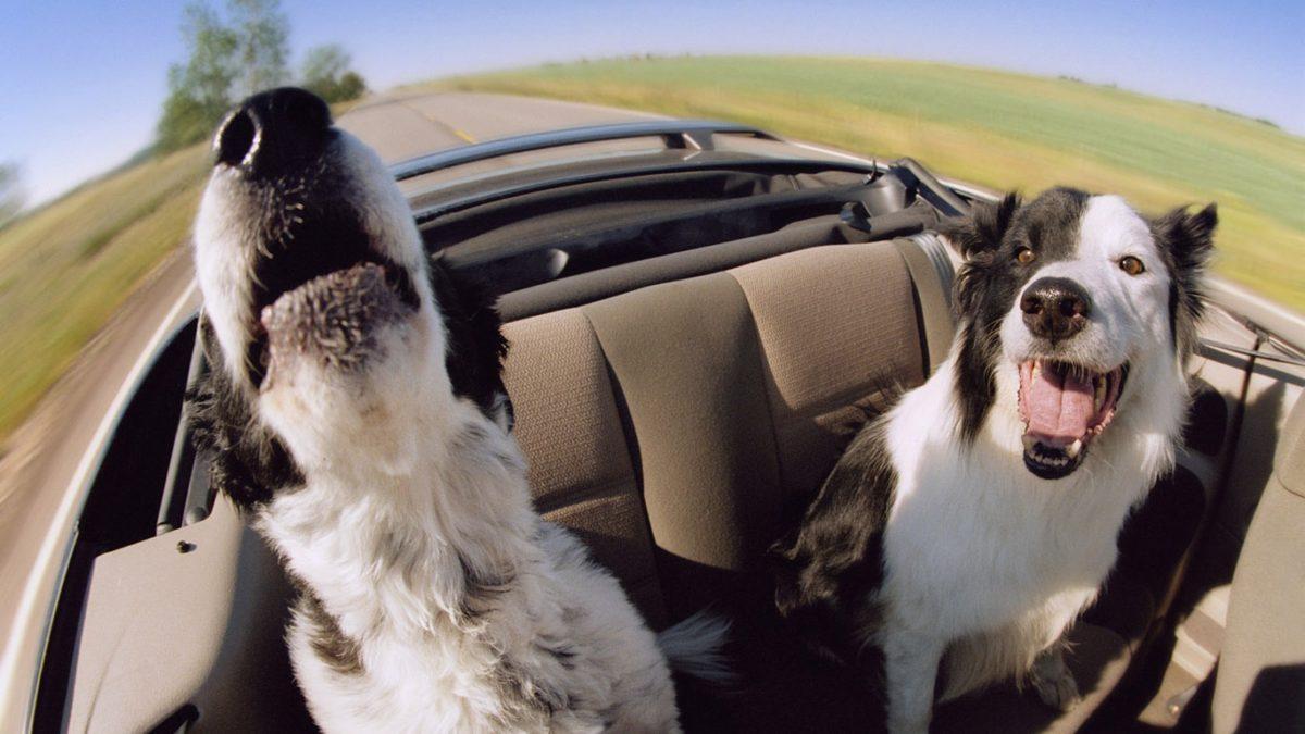 Как очистить салон автомобиля от шерсти собаки