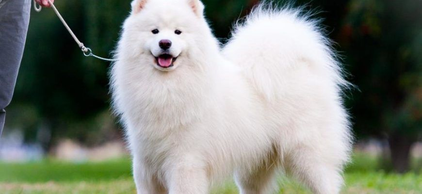 Самоед или самоедская лайка: фото собаки и цена