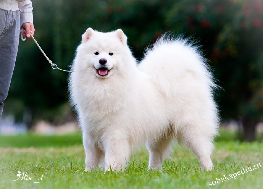 Самоедская собака — белоснежное чудо