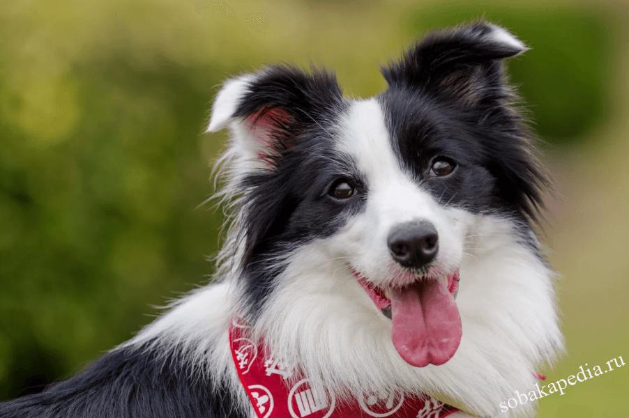 Бордер-колли одна из самых умных пород собак