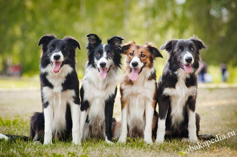 Порода собаки бордер-колли : характеристики, фото, характер