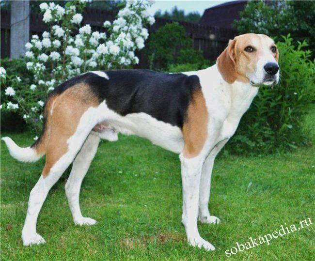 Русская гончая — собака, предназначенная исключительно для охоты